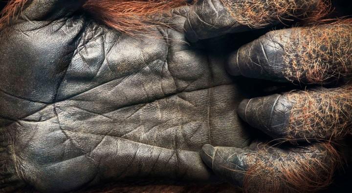 0027_Orangutan_Handflatten-copy1-1600x880