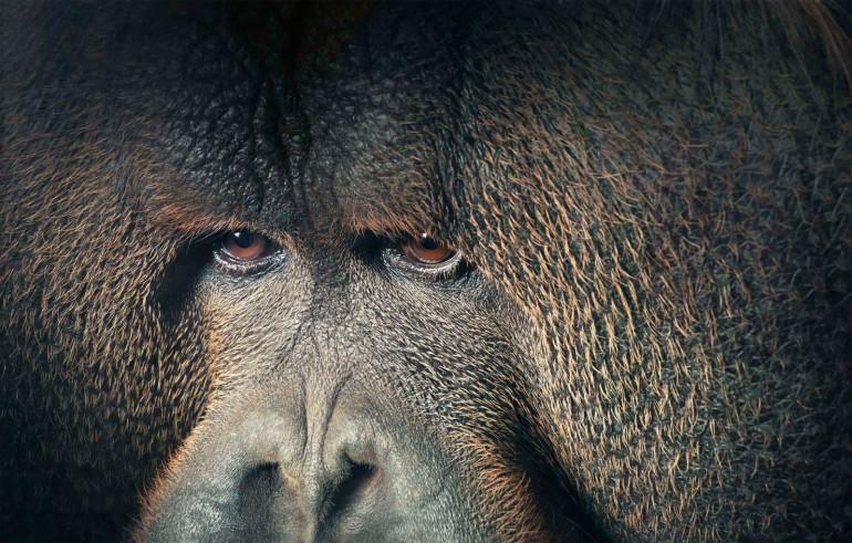 0028_Orangutan_Eyes_Looking_-Away-copy1-1600x1022