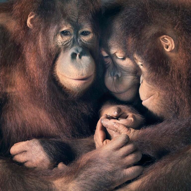 AP-Orangutan-Group-copy-2-1600x1600