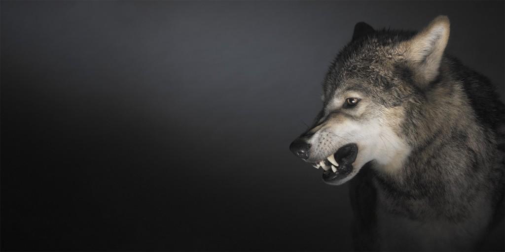 Getty-wolf2-1600x800