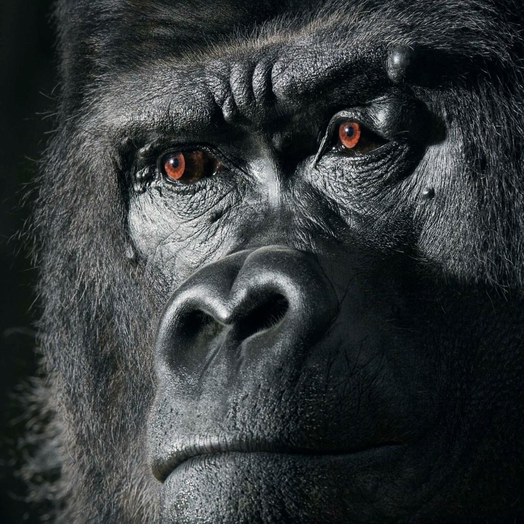 Gorilla-1600x1600